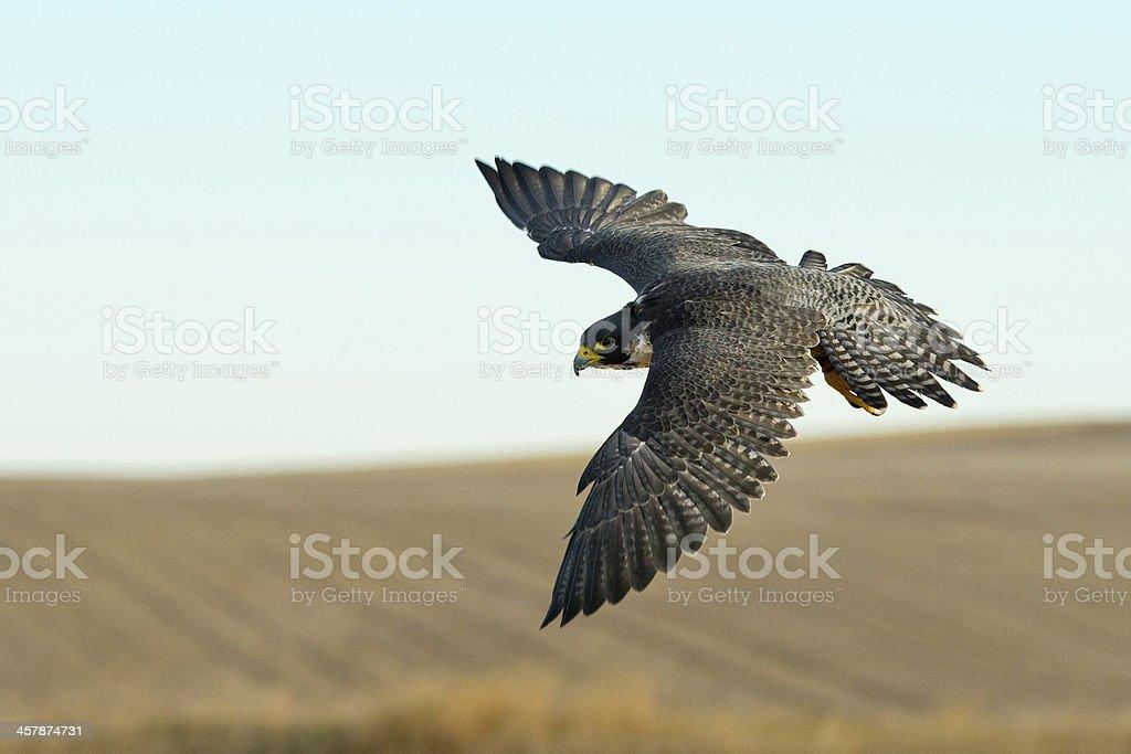 Hunting Falcon stock photo