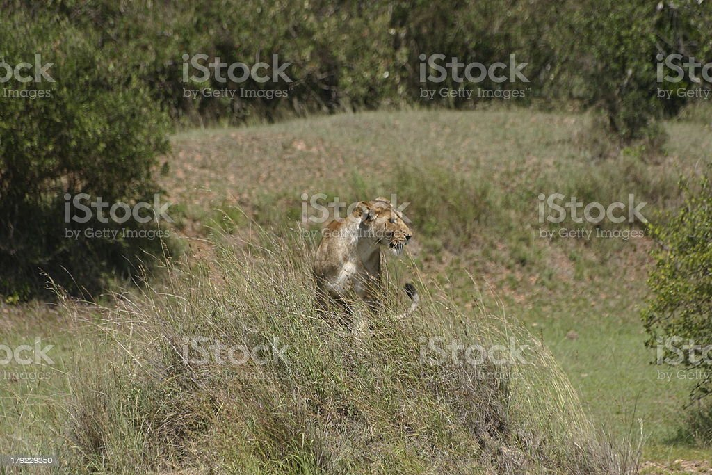 Hunting Female Lion in the Masai Mara, Kenya, Africa royalty-free stock photo