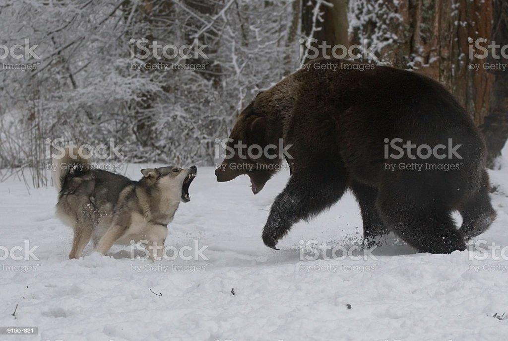 Chasse pour un ourson. - Photo