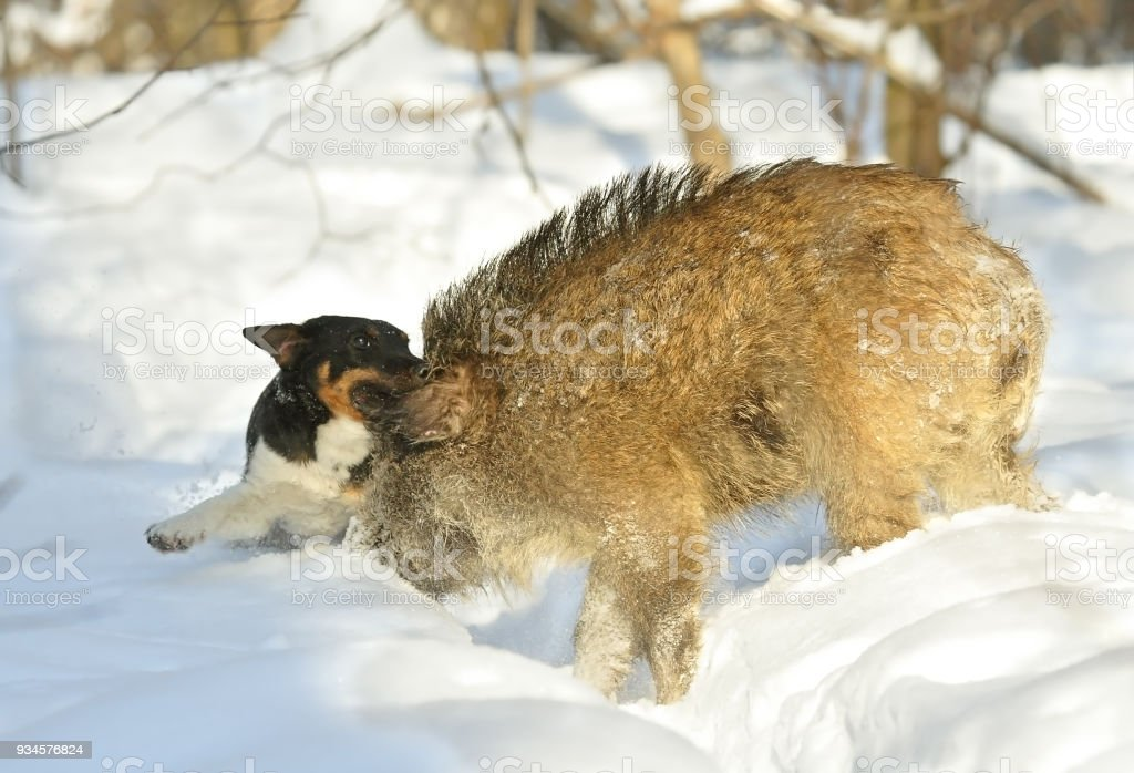 Hunting for a wild boar with a dog stock photo