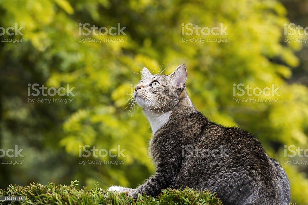 Hunting Grey Tabby Cat royalty-free stock photo