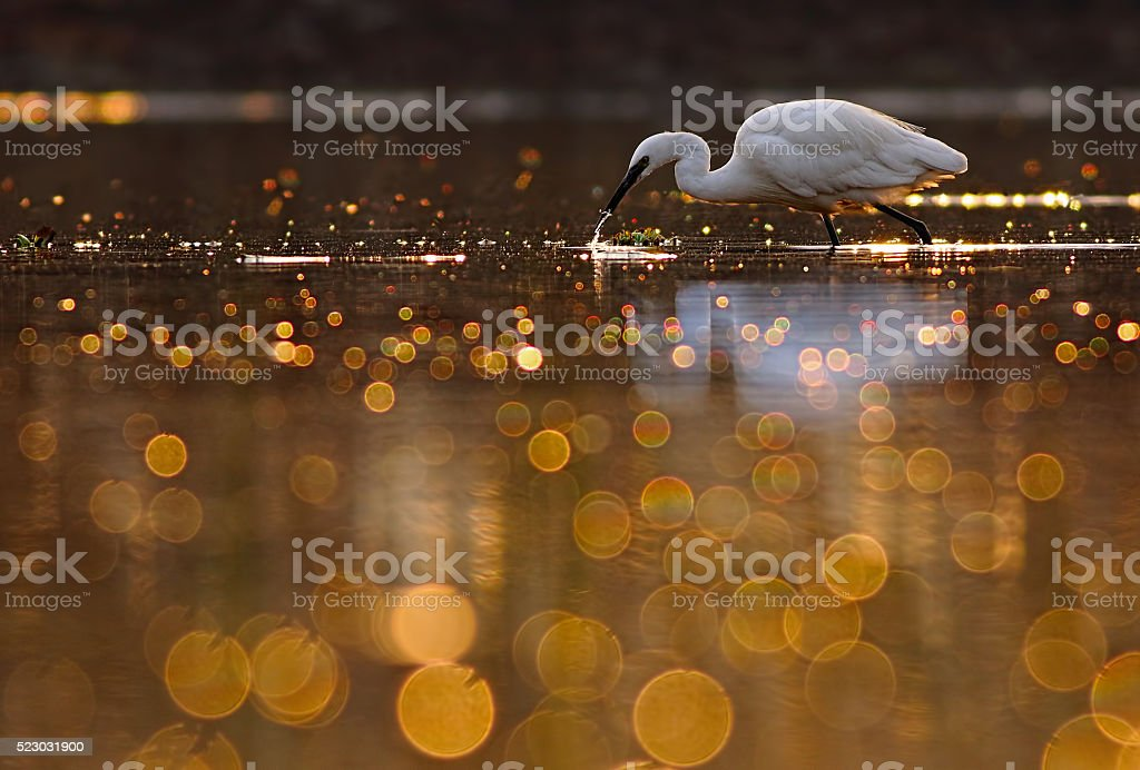 Hunting in pond of Bokeh stock photo