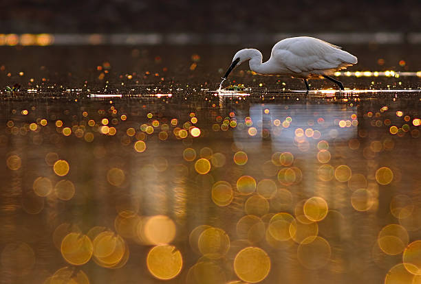hunting in pond of bokeh - wildplassen stockfoto's en -beelden