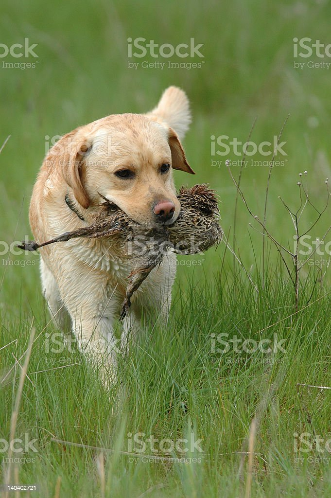 Hunting labrador retriever portrait with bird royalty-free stock photo