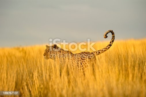 Short depth of field on a hunting male leopard in the South African Kalahari, close to the borders of Namibia and Botswana.
