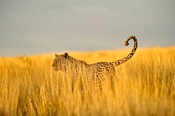 Hunting leopard in hohen Kalahari Gras – Foto