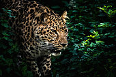 Close-up of hunting leopard. It is stalking the prey silently and stealthily in dense bush. Characteristic spotted pattern makes its invisible.