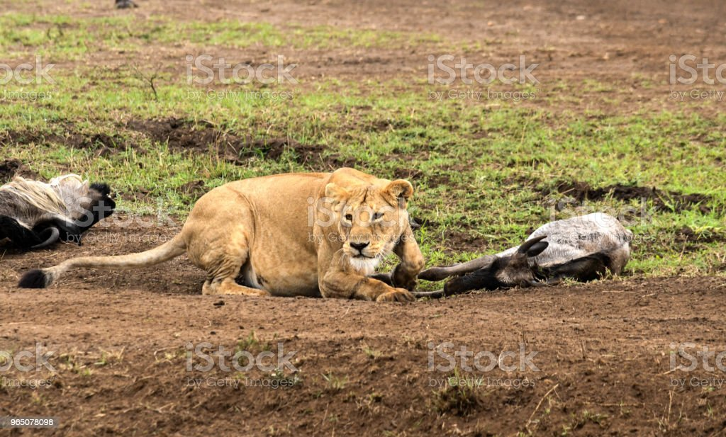 Hunting Lioness royalty-free stock photo