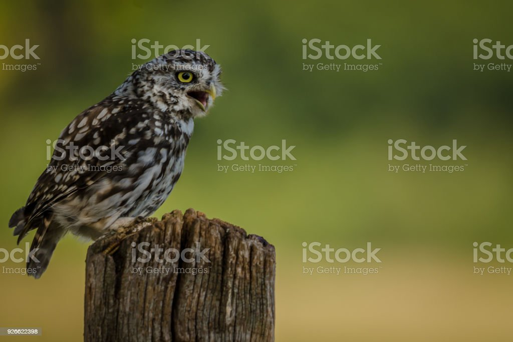 Hunting Little Owl Perched stock photo