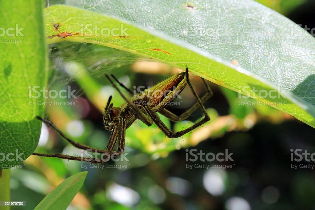 hunting spider lurks well camouflaged in their hiding stock photo