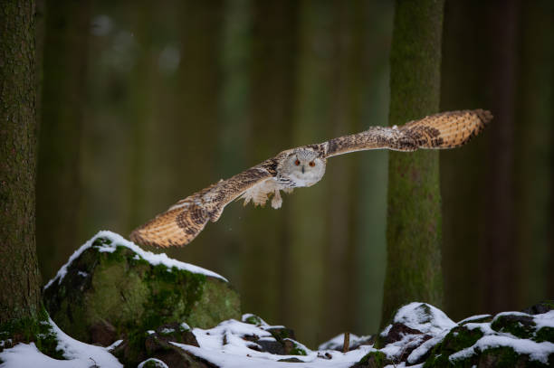 Hunting western siberian eagle owl in the forest stock photo