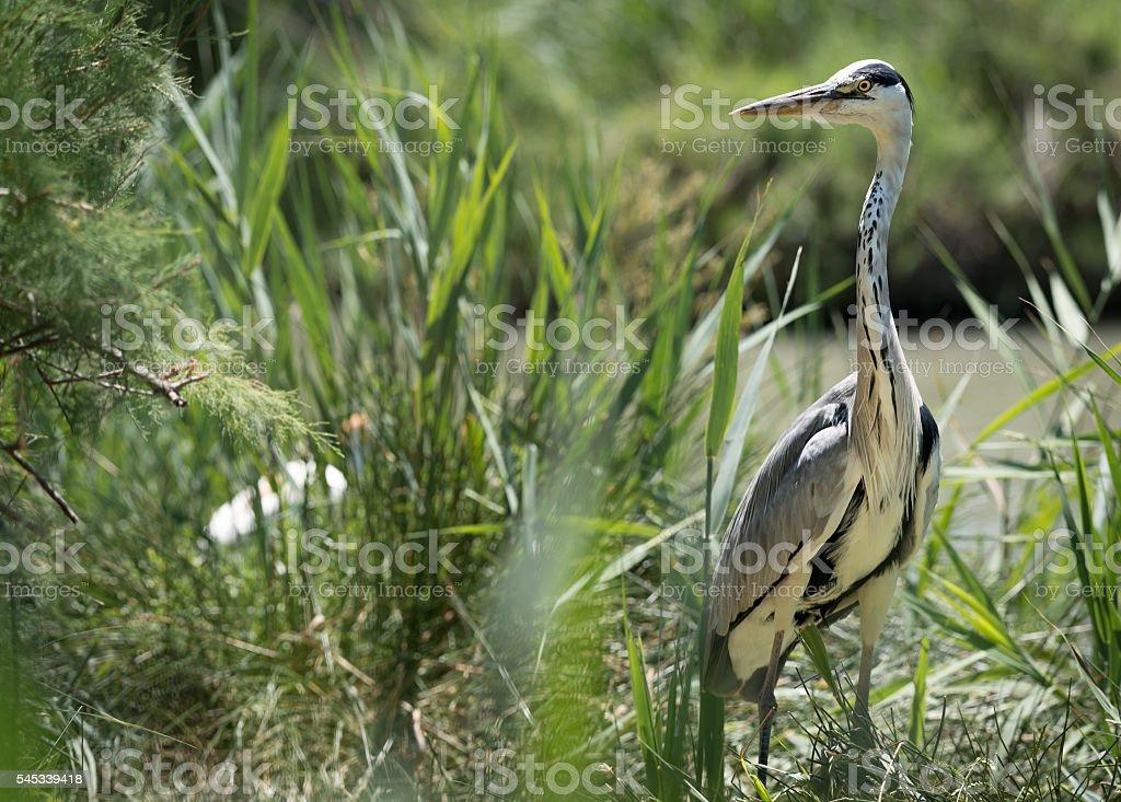 Hunting Wild Grey / Gray Heron stock photo