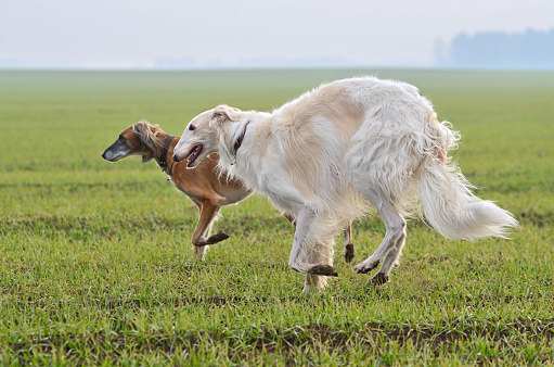 Hunting With Borzoi Dogs Stock Photo - Download Image Now ...