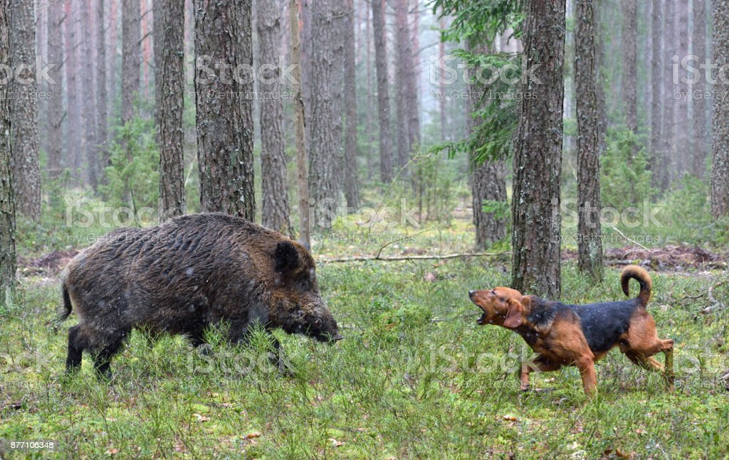 Hunting with hound on wildboar stock photo