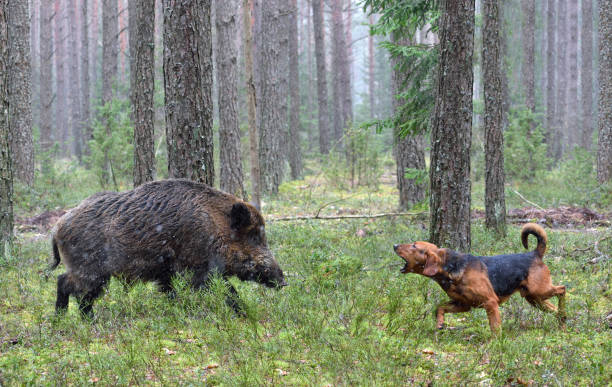 Hunting with hound on wildboar Belarusian Gonchak hound, a National dog breed of Belarus,  hunting on wild boar in green forest wild boar stock pictures, royalty-free photos & images