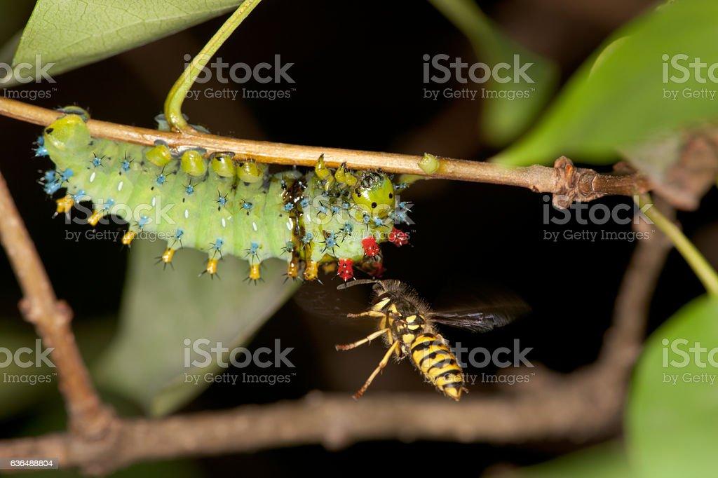 Hunting Yellowjacket and an injured Cecropia caterpillar stock photo