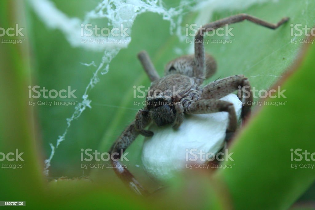 Huntsman Spider Female Stock Photo & More Pictures of Animal - iStock