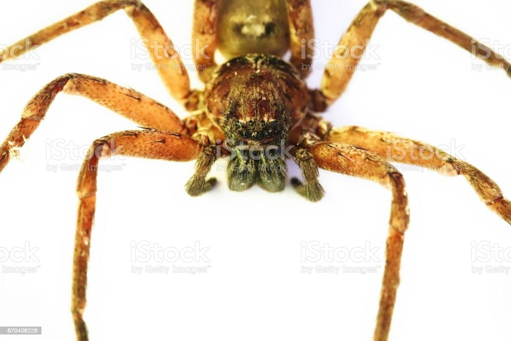 Huntsman Spider In Australia Stock Photo - Download Image