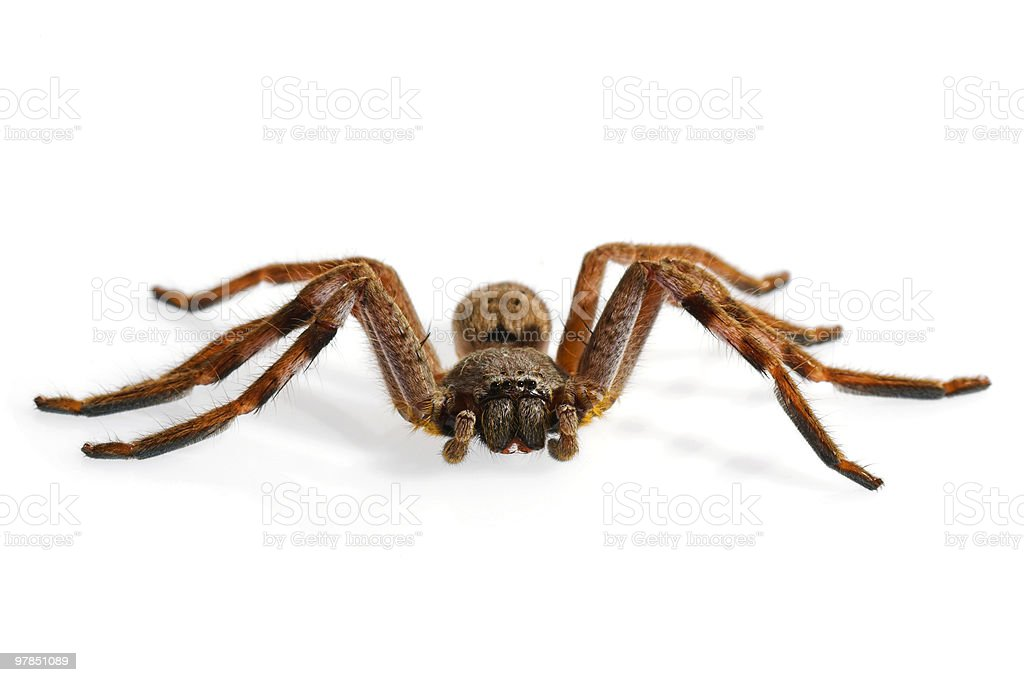 Huntsman Spider on White Background royalty-free stock photo