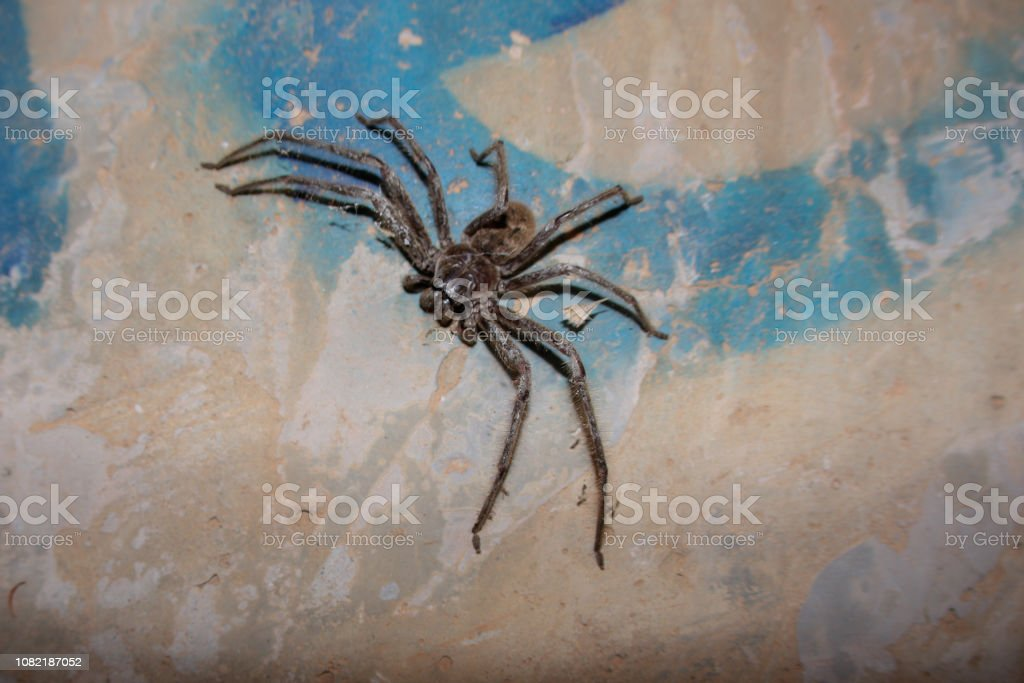 Huntsman Spider Or Wolf Spider Stock Photo - Download Image