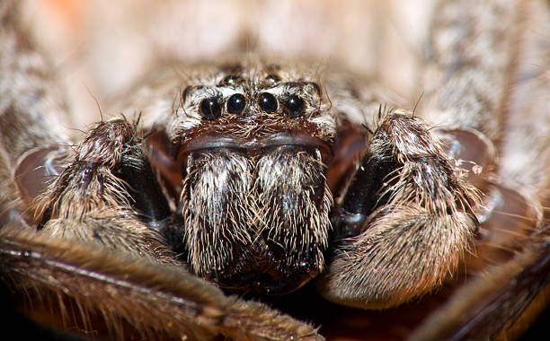 Huntsman-Spinne – Foto