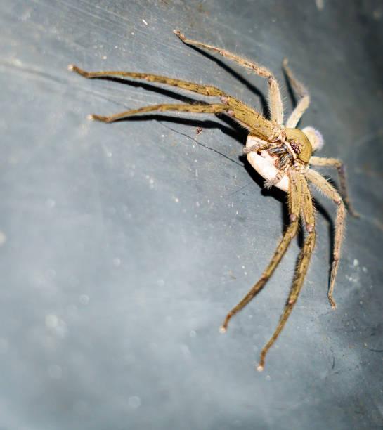 huntsman spider (palystes castaneus) mit ei sac - eierstich stock-fotos und bilder