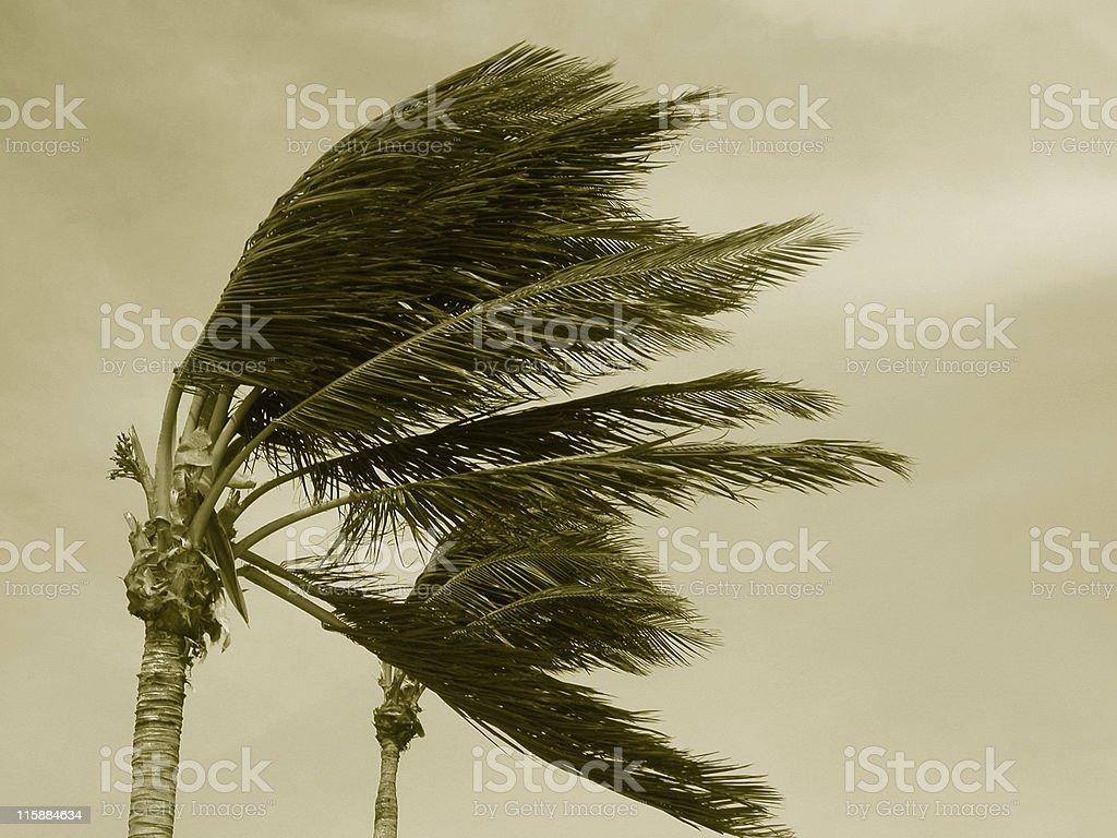 Hurricane palms 2 Sepia stock photo