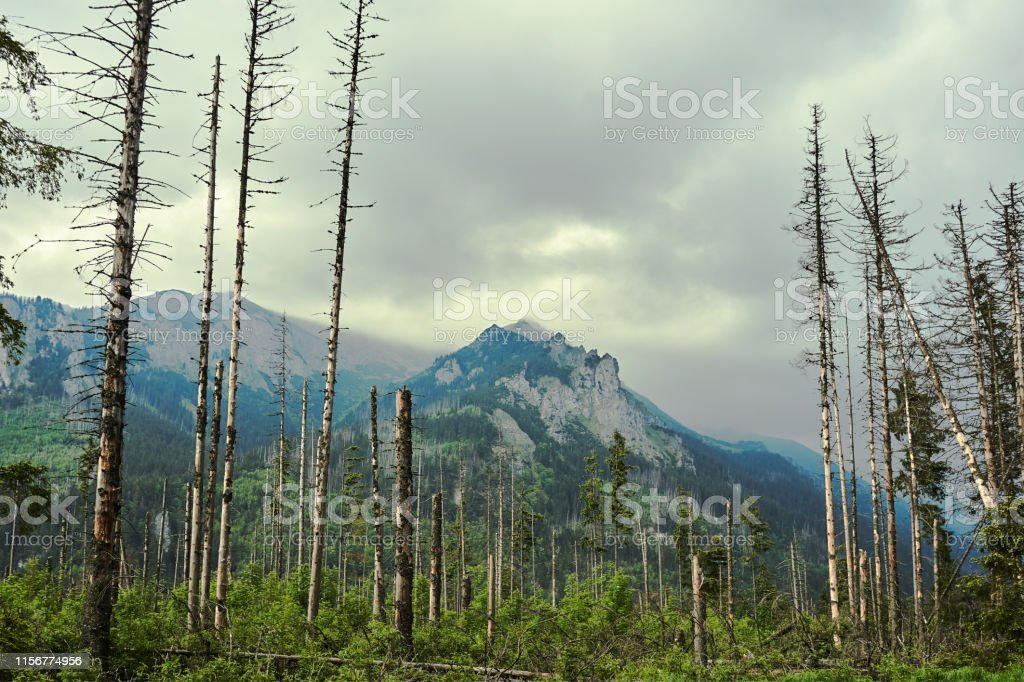Hurricane trees and rocky peaks in the High Tatras in Poland