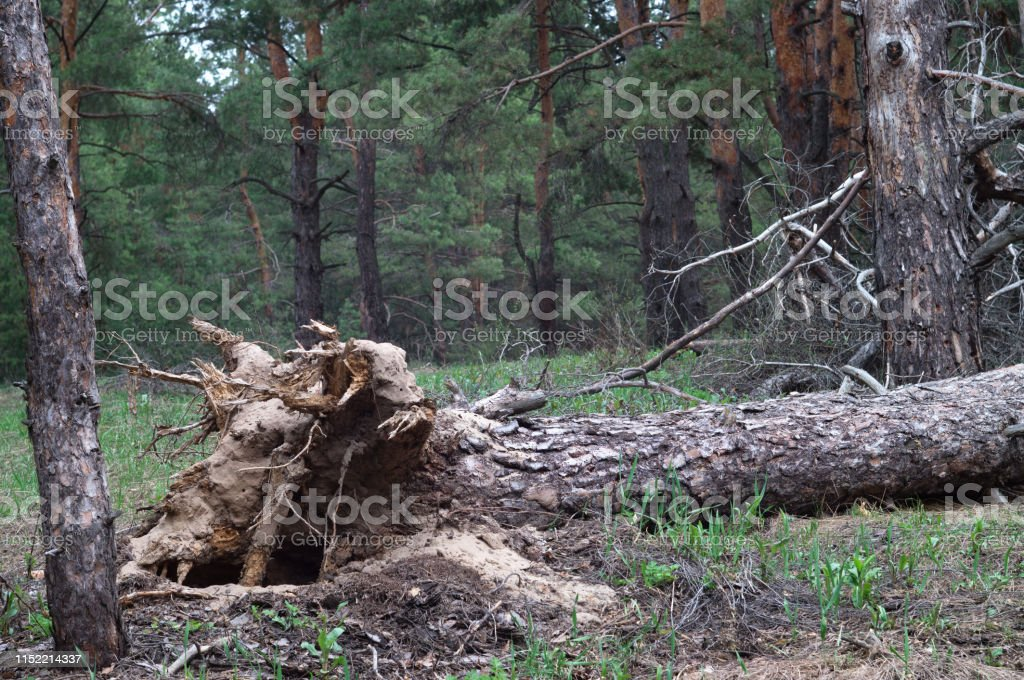 Hurricane uprooted tree in the forest. Fallen big pine.