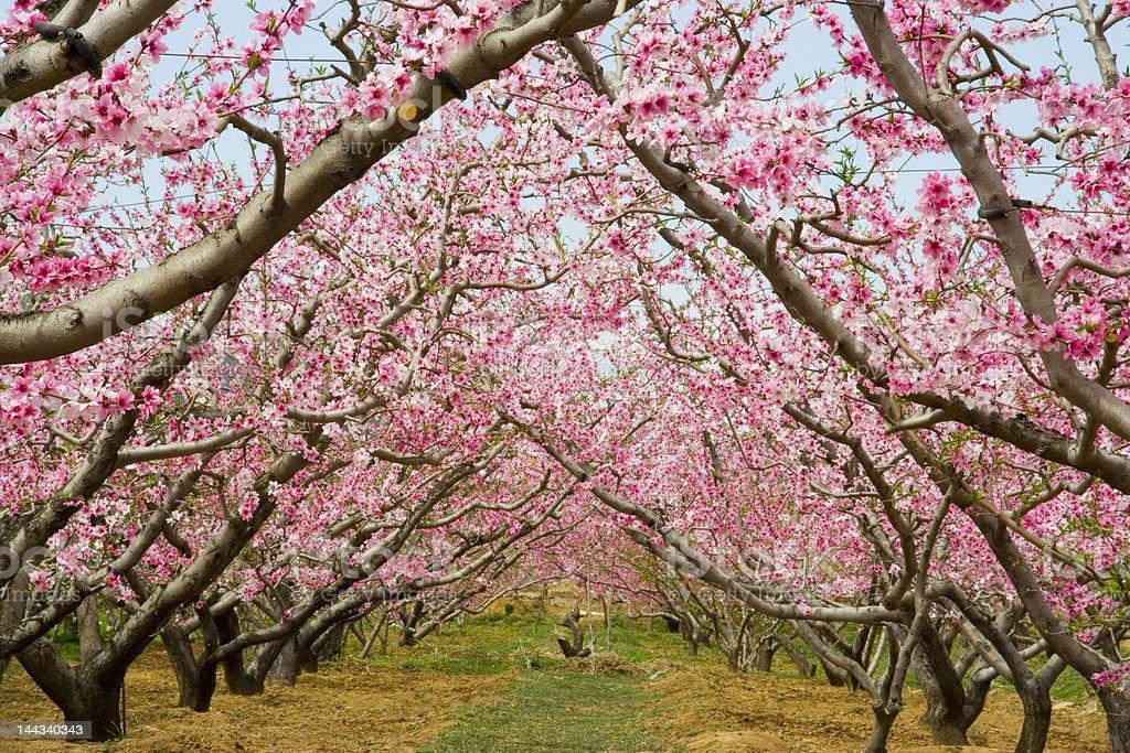 hurst of peach blossom royalty-free stock photo