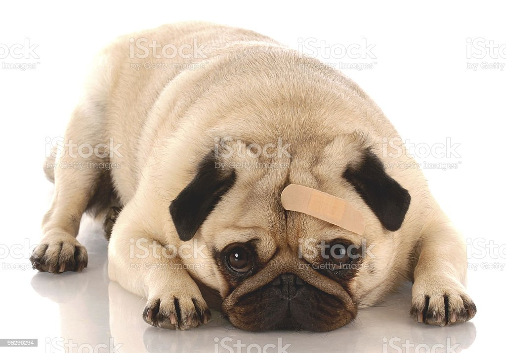 hurt and wounded dog stock photo