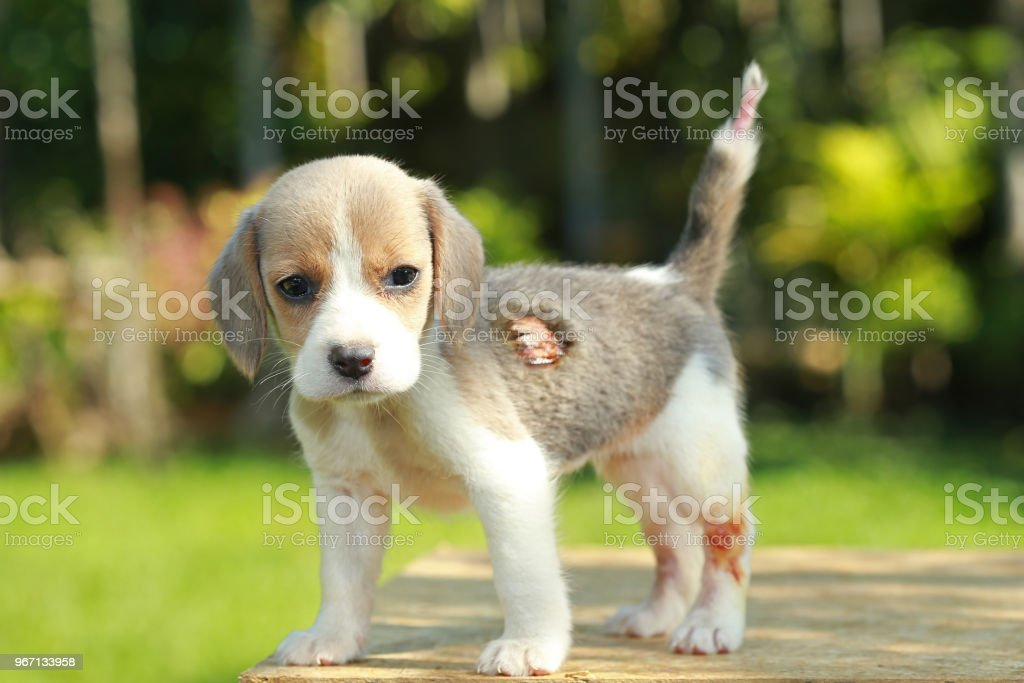 Hurt Silver Color Beagle Puppy In Natural Green Background Stock Photo Download Image Now Istock
