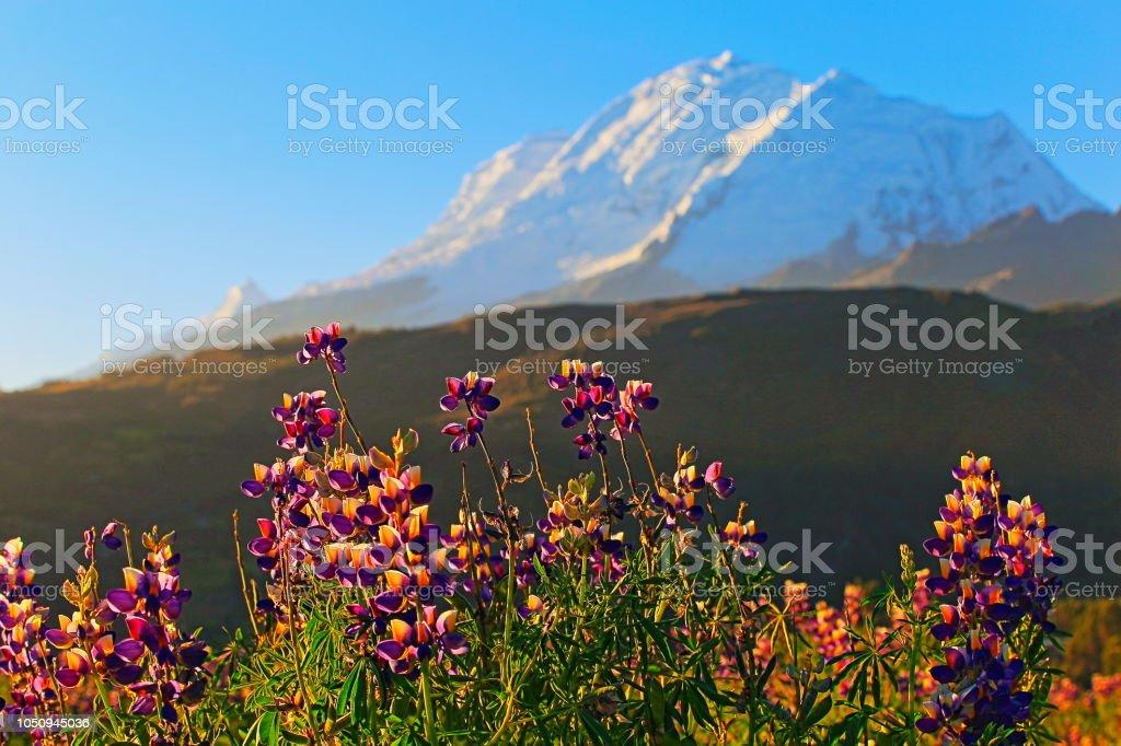 Huscaran e flores silvestres ao pôr do sol ouro - Cordilheira Blanca - Ancash, Peru - foto de acervo