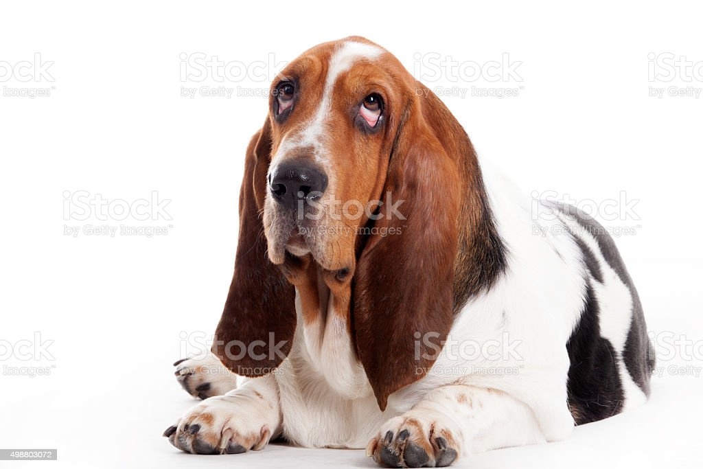 Royalty Free Hush Puppies Dog Pictures Images And Stock Photos Istock