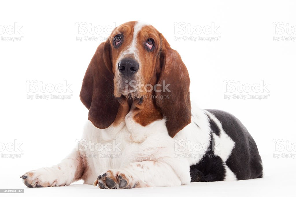 hush puppy lays down stock photo