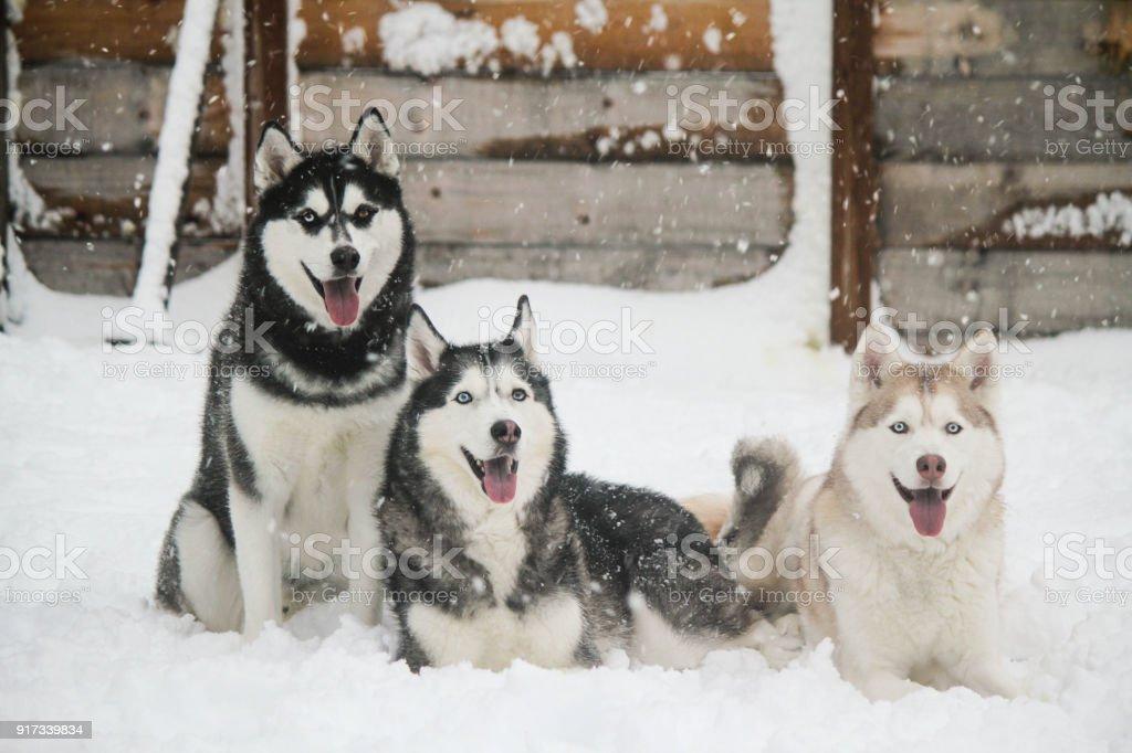 Huskies in Snow stock photo