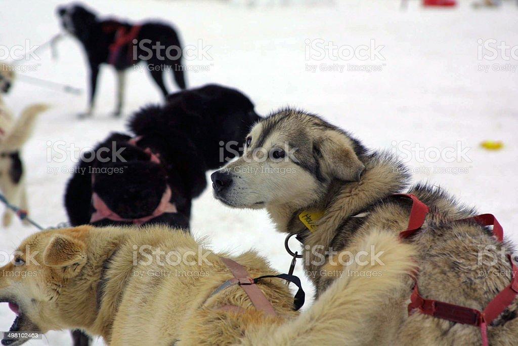 Huskies on Norris Glacier, Juneau, Alaska royalty-free stock photo