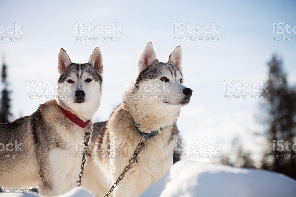 Huskies – Foto