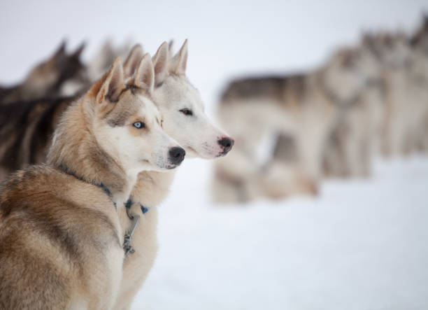 Huskies stock photo