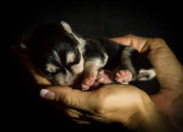 husky baby - baby born schlitten stock-fotos und bilder