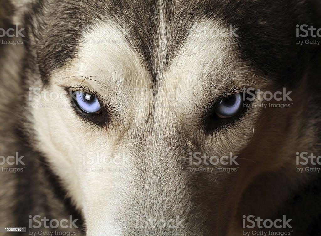 Husky Blue Eyes stock photo