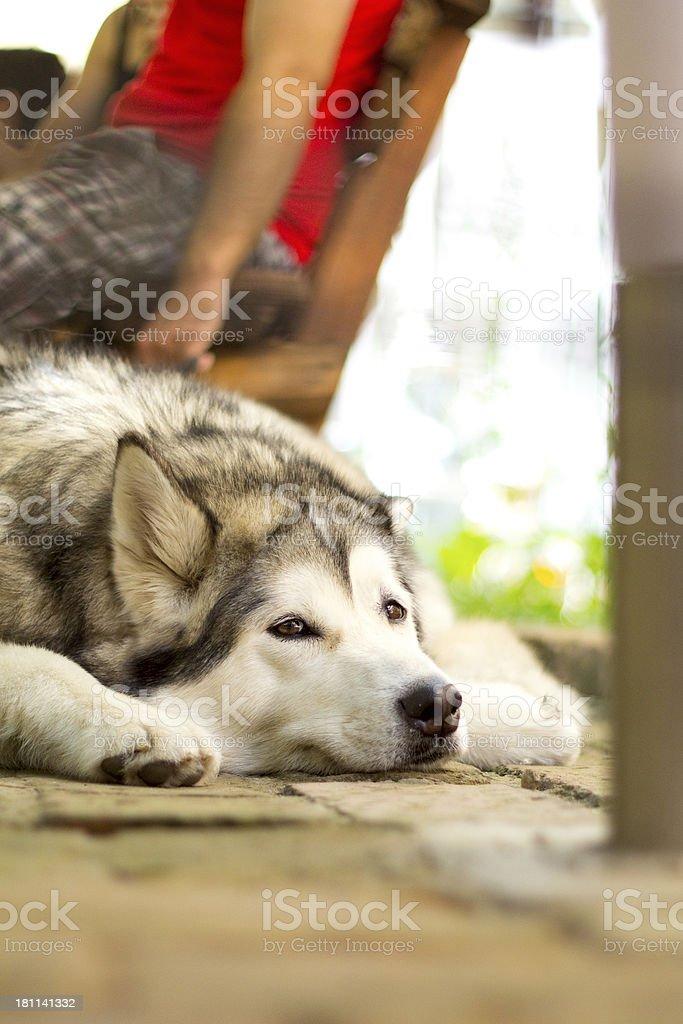 Husky bored royalty-free stock photo