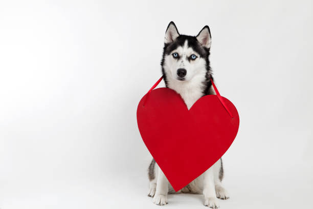 husky dog and heart symbol – Foto