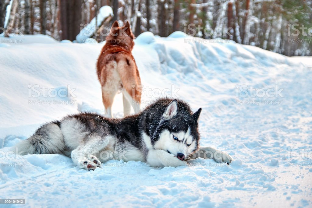 Husky Dog Cleaning Out The Snow From Paws Siberian Husky With Blue