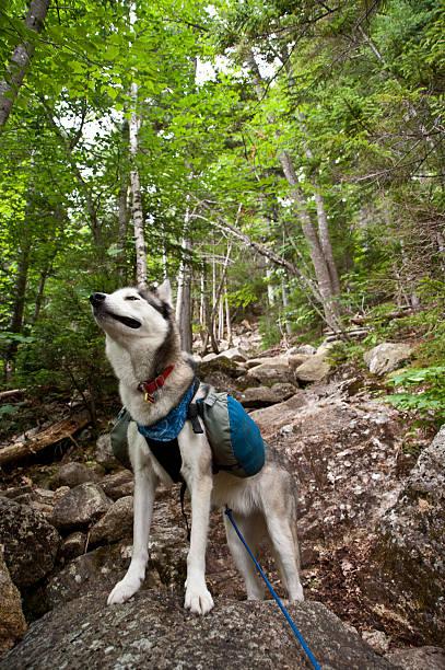 Husky dog hiker stock photo