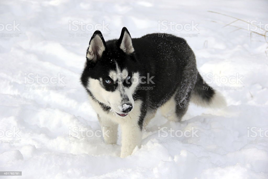 husky dog in snow royalty-free stock photo