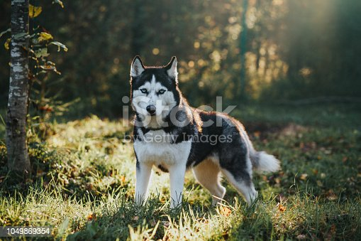 beautiful husky dog in the autumn garden
