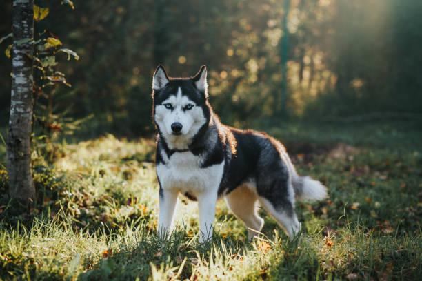Husky Hund im Herbst Garten – Foto