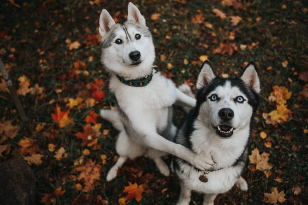 husky dog in the autumn garden beautiful husky dog in the autumn garden husky dog stock pictures, royalty-free photos & images