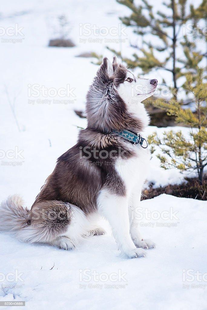 Husky dog in winter. Cute pet, friendly.